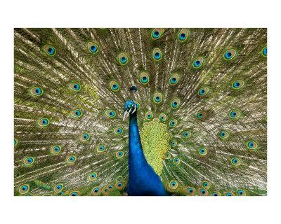 Peacock - Photographic Print