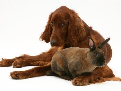 Irish Setter with Dwarf Rex Rabbit - Photo