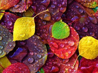 Multi-Colored Aspen Leaves with Rain Drop - Photographic Print