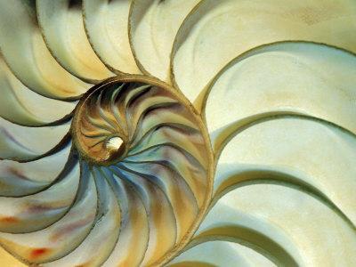 Close-up of Nautilus Shell Spirals - Photographic Print