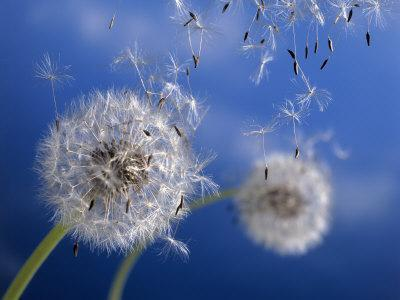 Dandelions Blowing in the Wind - Photographic Print