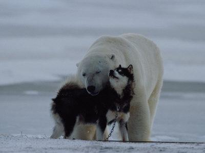 A Polar Bear (Ursus Maritimus) and a Husky Cuddle up to Each Other in the Snow - Photographic Print