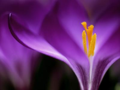 """Crocus Crysanthus """"Eye Catcher"""" (Extreme Close-up) March - Photographic Print"""