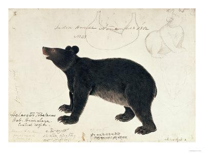 """Drawing of an Asiatic Black Bear, """"Ursus Tibetanus"""", from the Central Region of Himalaya - Giclee Print"""