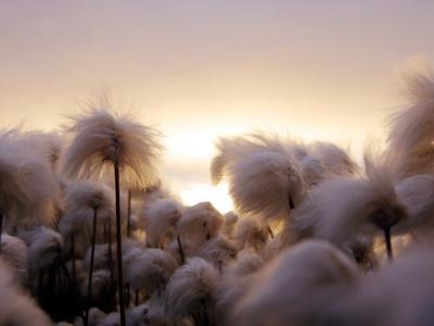 Cotton Grass Stands Tall in the Setting Sun in Kulusuk, Greenland - Stretched Canvas Print