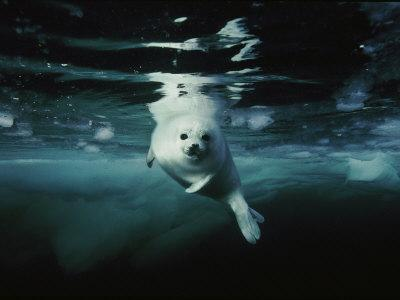 A whitecoat, or juvenile, harp seal swims gracefully in icy water - Photographic Print