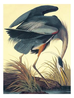 Great Blue Heron - Giclee Print