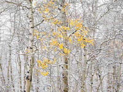 Fall Birch - Photographic Print
