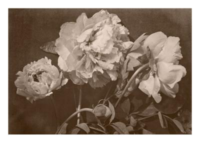 Quatre pivoines - Giclee Print