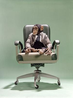 1970s Businessman Chimpanzee Sitting In Office Chair - Photographic Print