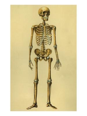 Illustration of Human Skeleton - Giclee Print