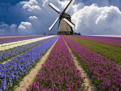 Windmill and Flower Field in Holland - Photographic Print