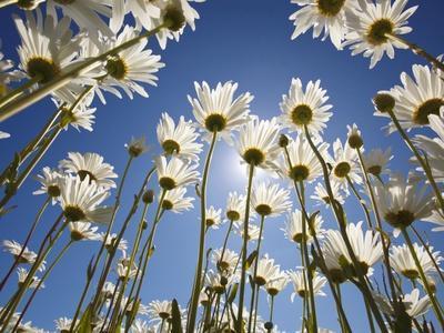 Sun and blue sky through daisies - Photographic Print