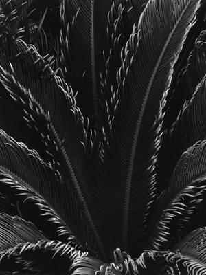 Palm Fronds - Photographic Print