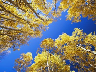 Aspen Trees Against Blue Sky - Photographic Print