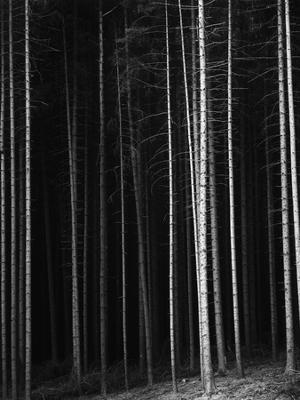 Pine Forest, Germany, 1971 - Photographic Print