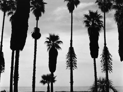 Palm Trees in Silhouette, California, 1958 - Photographic Print