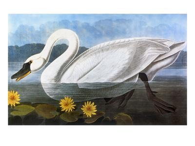 Audubon: Swan, 1827 - Giclee Print