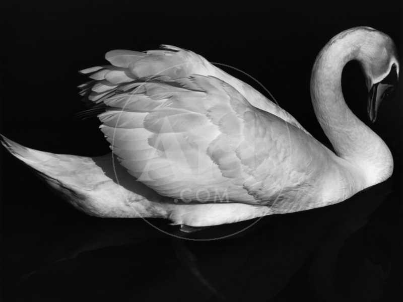 Swan, Europe, 1972