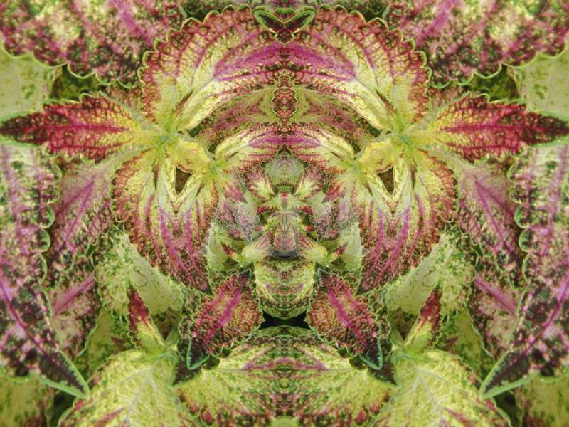 Abstract Pattern in the Variegated Leaves of Coleus