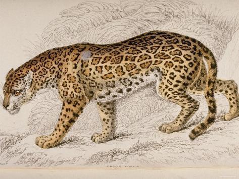 engraving of a jaguar from the naturalist s library mammalia i G 26 2699 YKRUD00Z Hayvanlar Alemi Omurgalılar Hakkında Çok Detaylı Bilgi