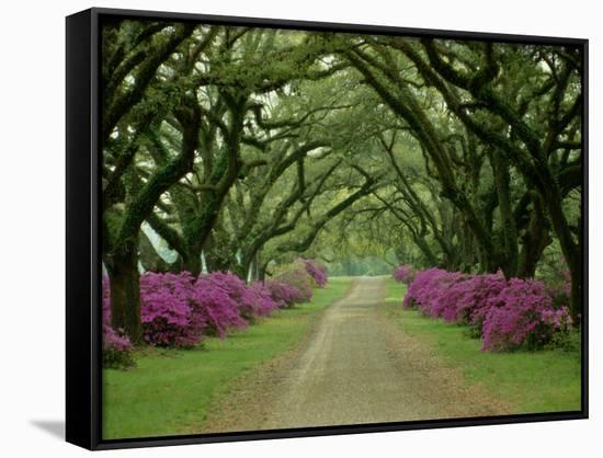 A Beautiful Pathway Lined with Trees and Purple Azaleas-Sam Abell-Framed Canvas Print