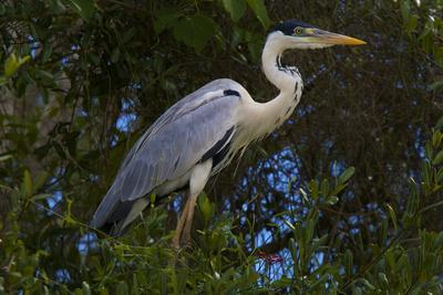 A Cocoi Heron, Ardea Cocoi, Perched in a Tree-Steve Winter-Stretched Canvas Print