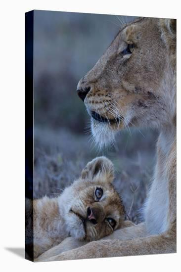 A Lion Cub Looks Up at its Mother-Michael Nichols-Stretched Canvas Print