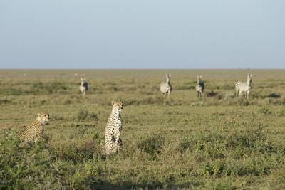 Adult Female Cheetah with Cub (Acinonyx Jubatus) Tanzania-Stu Porter-Stretched Canvas Print