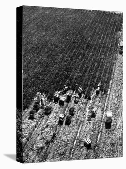 Aerial View of Farm Workers Harvesting Onion Crop-Margaret Bourke-White-Stretched Canvas Print