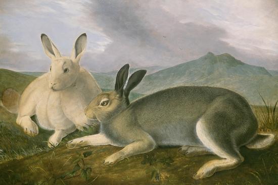 Arctic Hare, 1841-John James Audubon-Stretched Canvas