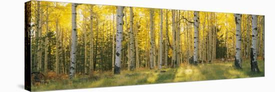 Aspen Trees in Coconino National Forest, Arizona, USA--Stretched Canvas Print
