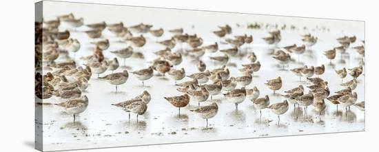 Bar-Tailed Godwit 19-Kurien Yohannan-Stretched Canvas Print