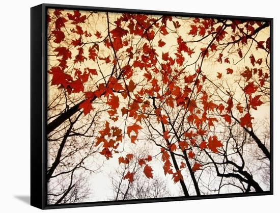 Bare Branches and Red Maple Leaves Growing Alongside the Highway-Raymond Gehman-Framed Canvas Print