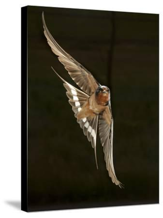 'Barn Swallow, Pennsylvania, USA' Photographic Print - Joe ...