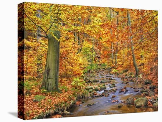 Beech forest in autumn, Ilse Valley, Germany-Frank Krahmer-Stretched Canvas Print