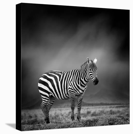 Black and White Image of A Zebra-byrdyak-Stretched Canvas Print