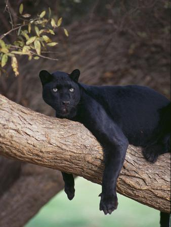 Black Panther Sitting on Tree Branch-DLILLC-Stretched Canvas Print
