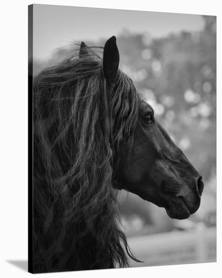 Black Stallion-Melanie Snowhite-Stretched Canvas Print