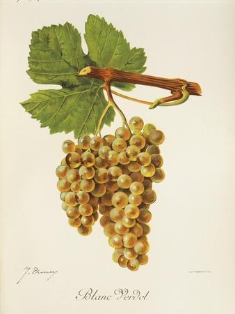 Blanc Verdet Grape-J. Troncy-Stretched Canvas Print