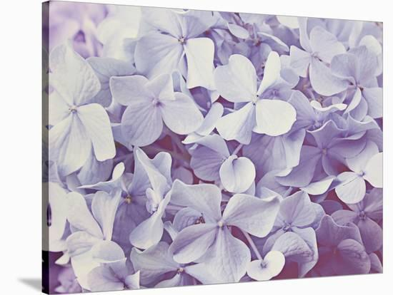 Blooming Hydrangeas--Stretched Canvas Print