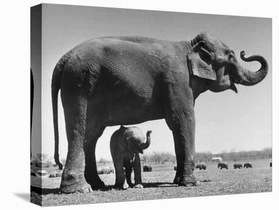 Butch, Baby Female Indian Elephant in the Dailey Circus, Standing Beneath Full Size Elephant-Cornell Capa-Stretched Canvas Print