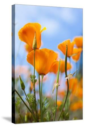 California Poppies in the Gardens of Royal Roads University-Taylor S^ Kennedy-Stretched Canvas Print