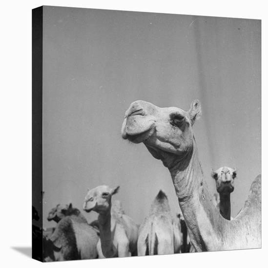 Camels Being Sold at Animal Market-Bob Landry-Stretched Canvas Print