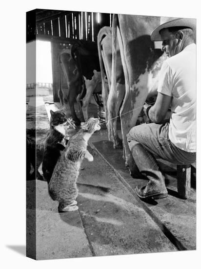 Cats Blackie and Brownie Catching Squirts of Milk During Milking at Arch Badertscher's Dairy Farm-Nat Farbman-Stretched Canvas Print