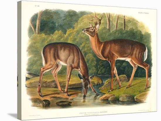 Cervus Virginianus (Common or Virginian Deer), Plate 136 from 'Quadrupeds of North America',…-John Woodhouse Audubon-Stretched Canvas Print