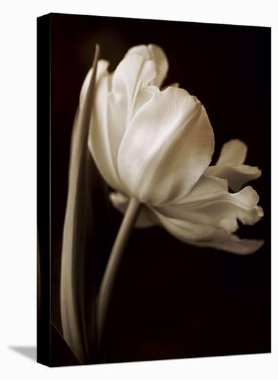 Champagne Tulip I-Charles Britt-Stretched Canvas Print