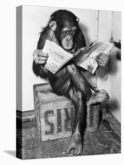 Chimpanzee Reading Newspaper-Bettmann-Stretched Canvas Print