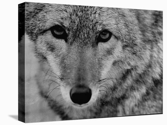 Close Up of a Coyote-Stan Wayman-Stretched Canvas Print