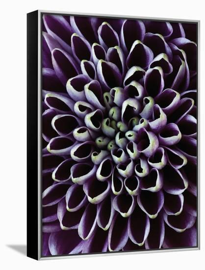 Close-up of Chrysanthemum Flower-Clive Nichols-Framed Canvas Print
